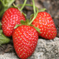 LOGO_Strawberry