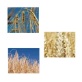 LOGO_Grains