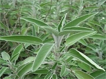 LOGO_Sage (leaves)