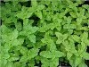 LOGO_Lemon Balm (leaves)