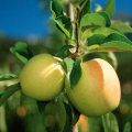 LOGO_Südtiroler Apfel