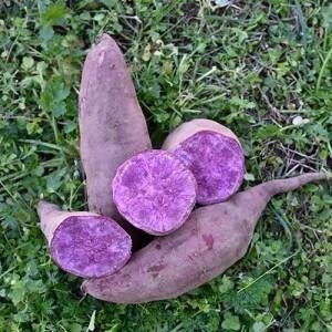 LOGO_Purple Sweet Potato