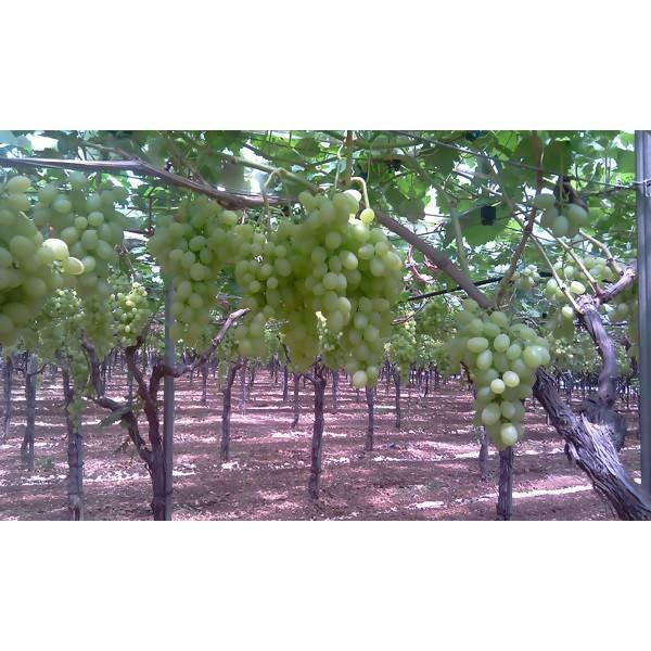 LOGO_Grape