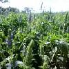 LOGO_Organic Chia Seed