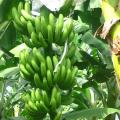 LOGO_Fresh Bananas