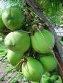 LOGO_Coconut Oil