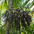 LOGO_Açai, Euterpe oleracea extract