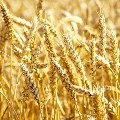 LOGO_Winter Wheat