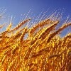 LOGO_Barley/Moulting Barley