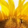 LOGO_Sunflower High Oleic