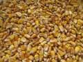 LOGO_Organic Corn