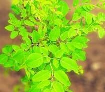 LOGO_100% Organic Premium Moringa Oleifera Tea Leaves