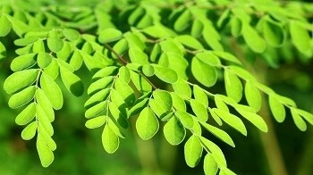 LOGO_100% Organic Premium Moringa Oleifera Dried Leaves
