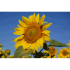 LOGO_Sunflowers