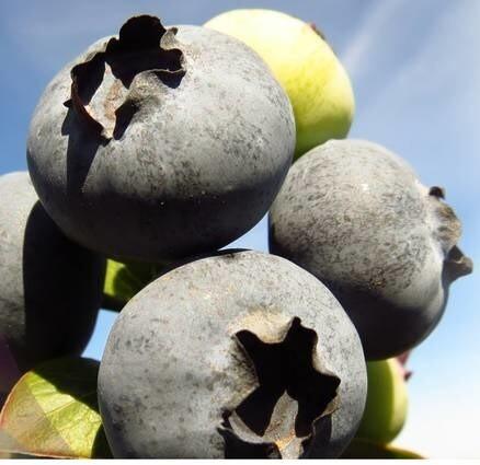 LOGO_Organic IQF Blueberries