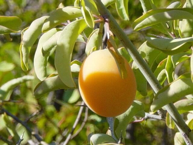 LOGO_Sour plum oil