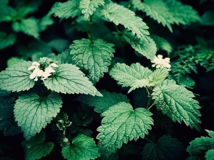 LOGO_Nettle leaf organic