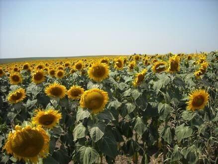 LOGO_Organic Sunflower
