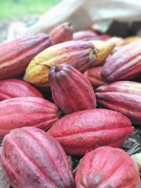 LOGO_Cacao beans