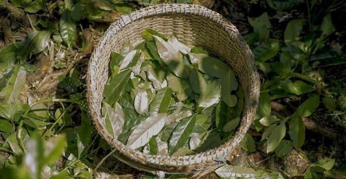 LOGO_Guayusa (leaves)