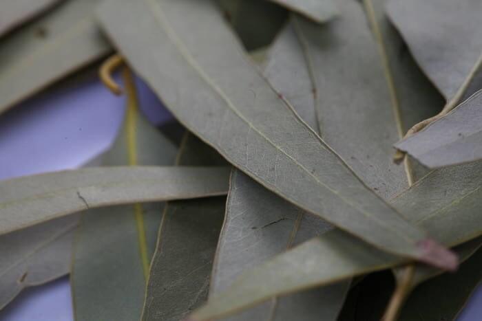 LOGO_Eucalyptus