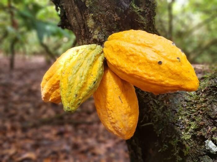 LOGO_Fermentierte Kakaobohnen
