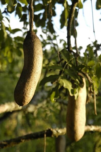 LOGO_African Sausage Tree