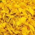 LOGO_Helianthus Annus - Flores
