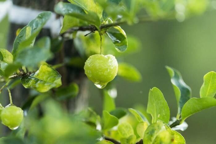 LOGO_Acerola Super Fruit