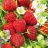 LOGO_Erdbeere