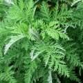 LOGO_Artemisia Afra (African Wormwood)
