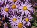 LOGO_Felicia Filifolia ( Wild Rosemary)