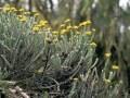LOGO_Helichrysum Odoratissimum