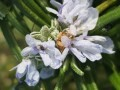 LOGO_Dried De-olied Rosemary- Carnostic Acid