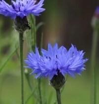 LOGO_Cornflowers with calyx