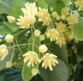 LOGO_Silver Linden Flower