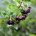 LOGO_Aronia Pflanze