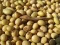 LOGO_Dry soybeans