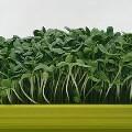 LOGO_Organic sunflower seeds for microgreens