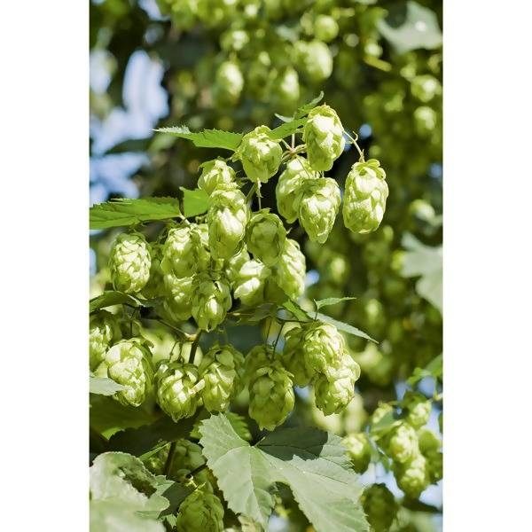 LOGO_Hops and hop products