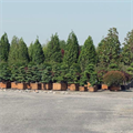 LOGO_Specimen Plants -  Container nursery
