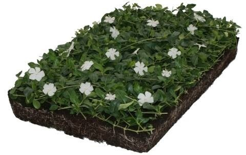 "LOGO_Covergreen® Vinca Minor ""Gertrude Jeckyll"""