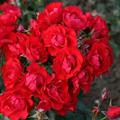 LOGO_Black Forest Rose®