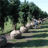 LOGO_Lifting Pinus nigra ssp. nigra specimen 5xtr., width 150-200, hight 300-350