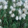 LOGO_Eriophorum angustifolium - Wollgras