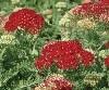 LOGO_Achillea millef. Tutti Frutti 'Pomegranate'