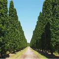 LOGO_Quercus robur 'Fastigiata Koster'