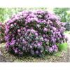 LOGO_Rhododendron