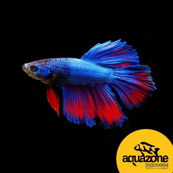 "LOGO_Betta splendens – Betta Halfmoon ""Red-Blue"""