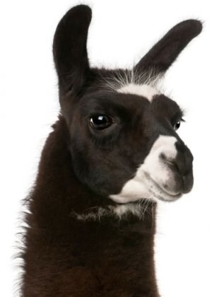 LOGO_Llama and Alpaca - MiracleCorp
